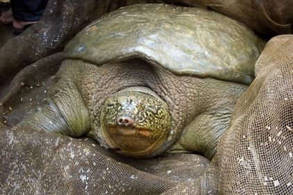 freshwater-turtles-threatened-red-river-giant-softshell-turtle_25937_600x450